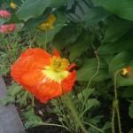 A windblown poppy